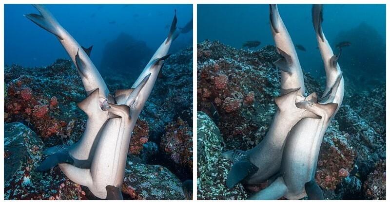 Редкие фото: как акулы занимаются сексом
