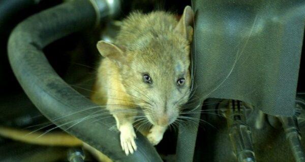 Как мыши помогли победить Красной Армии немцев в боях за Сталинград