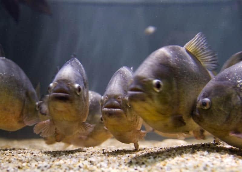 Bigpicture ru pirani animal state.blogspot.com