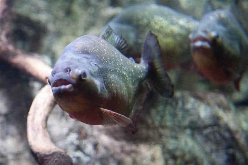 Bigpicture ru pirani vertebratejournal.org