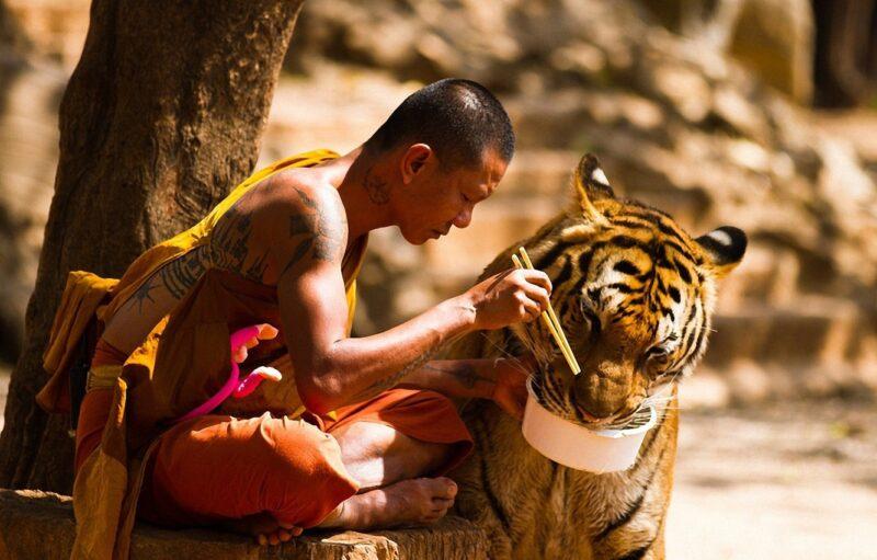 Bigpicture ru tigr buddist eda