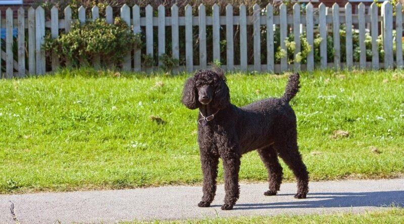 Bigpicture ru standard poodle 163963 1280 u1zt