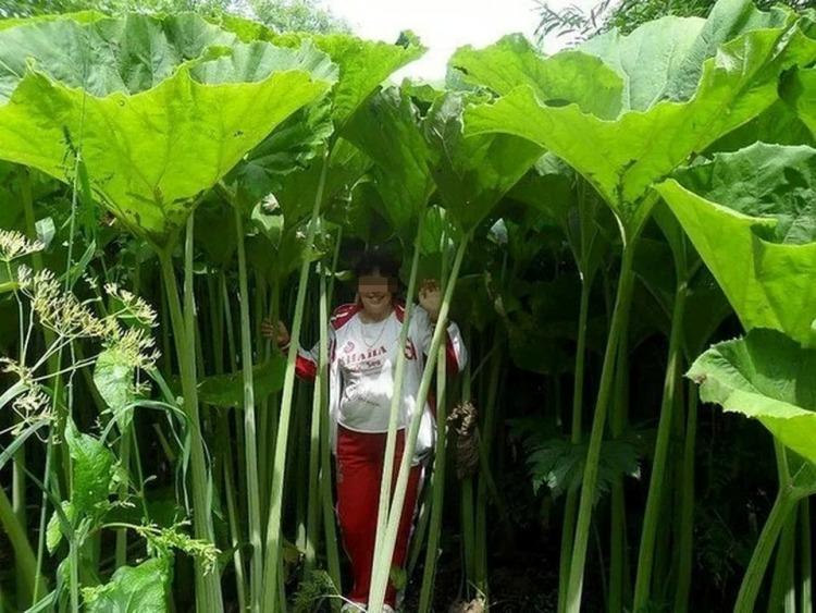 В стране лиллипутов: поразительные фото растений-гигантов на Сахалине