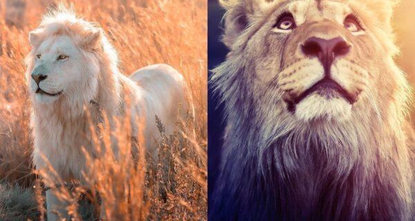 25 великолепных фотографий львов от знаменитого фотографа хищников Саймона Нидхэма