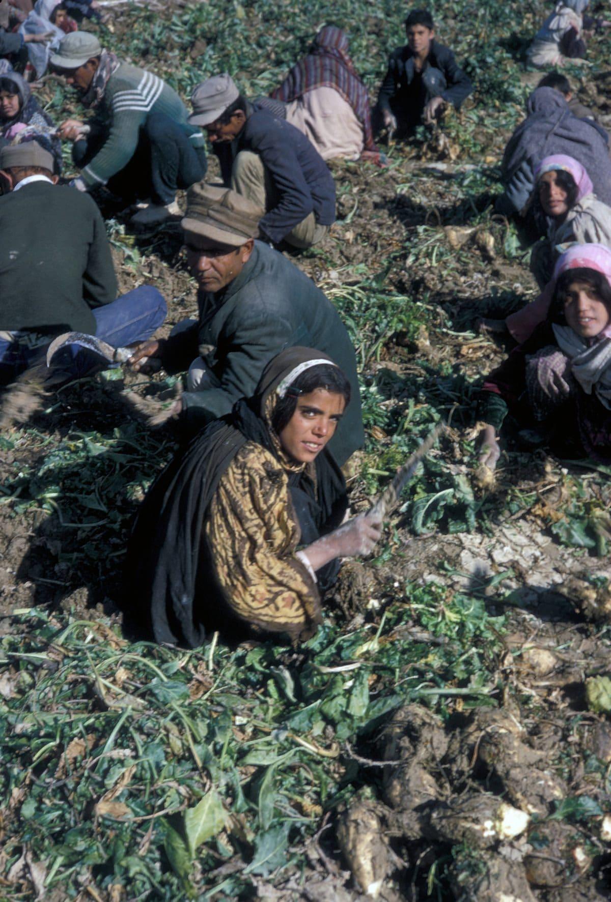 Bigpicture ru iran harvesting sugar beets in e
