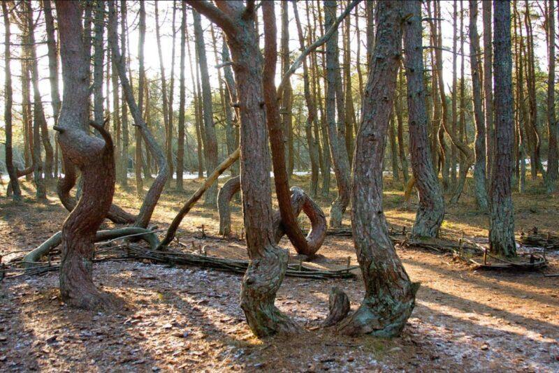 куршская коса танцующий лес и песчаные дюны