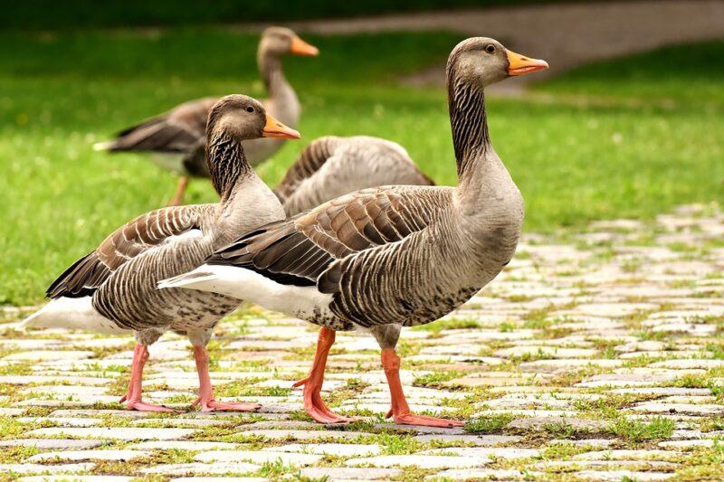 Bigpicture ru geese 3828043 960 720