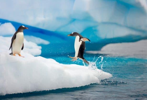 Bigpicture ru 0 gentoo penguin jumping onto ic