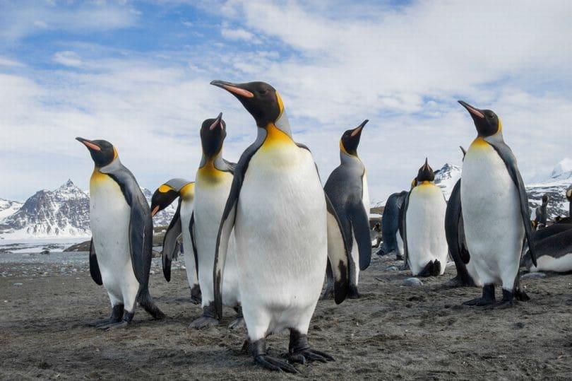 Bigpicture ru 2 a group of king penguins apten