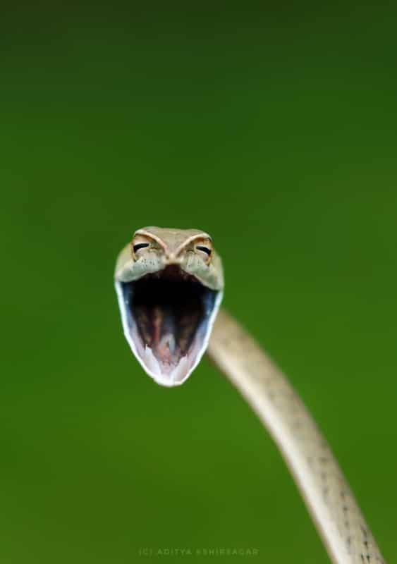 Bigpicture ru aditya kshirsagar laughing snake 00005728 563x800 1
