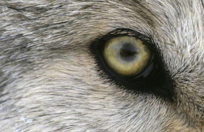Bigpicture ru animals eyes 008