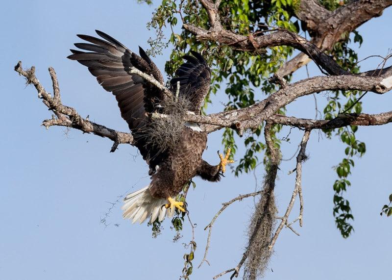 Bigpicture ru david eppley majestic and graceful bald eagle 00001648 800x571 1