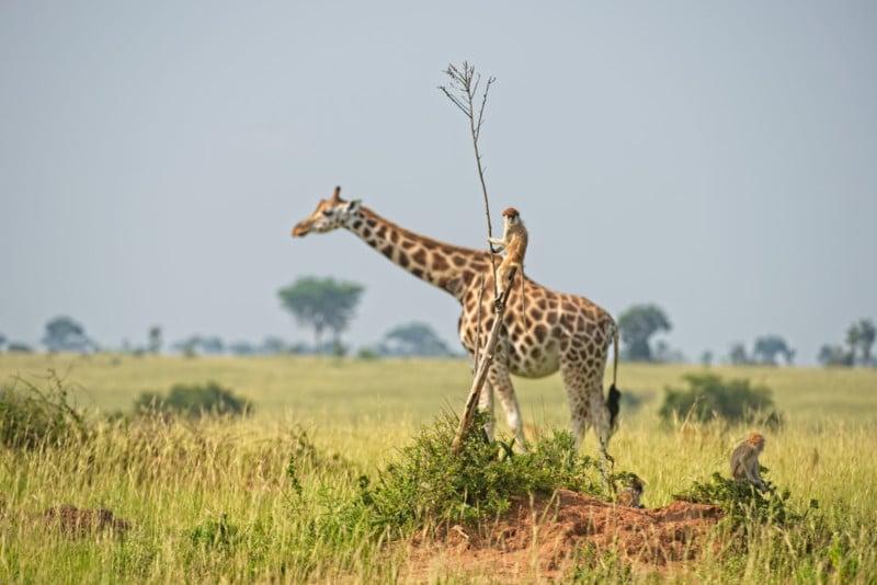 Bigpicture ru dirk jan steehouwer monkey riding a giraffe 00004268 800x534 1