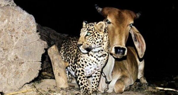 Bigpicture ru cow and leopard5
